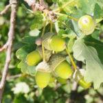 Gesucht wird der Vollherbst! – Zeigerpflanze: Die reifen Früchte der Eiche