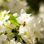 Dritte Runde des Phänologie-Projektes 2019: Gesucht wird der Vollfrühling! – Zeigerpflanze: Apfelbaum